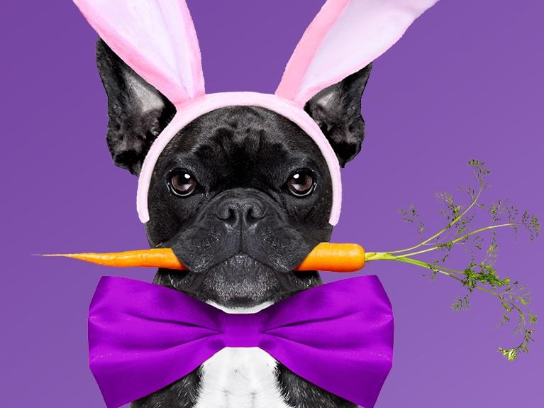 black french bulldog wearing pink bunny ears and purple bow tie with carrot in mouth