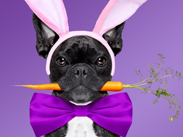 Black french bulldog with a carrot in its mouth
